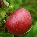 Apple-Tree-Wallpapers-HD